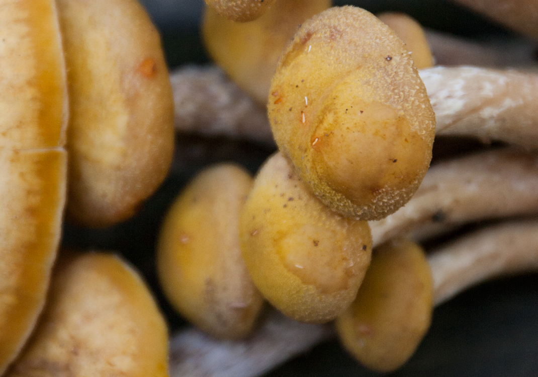 Ringless Honey Mushrooms